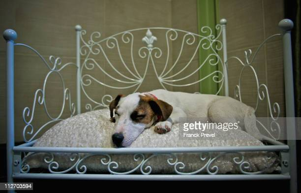 'Flag' a Jack Russell terrier sleeps in bed in its hotel room at Actuel Dogs on April 19 2011 in Vincennes France Opened in November 2010 by Devi and...