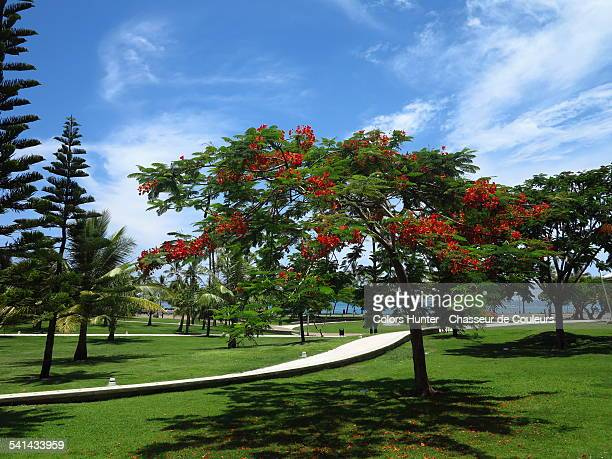 Flamboyant Tree - Noumea