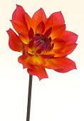 Flame-like dahlia, Dahlia 'Firepot'