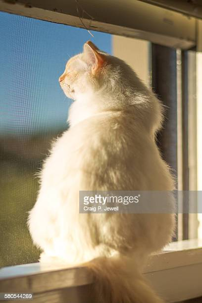 Flame-pointed ragdoll cat sitting on a windowsill