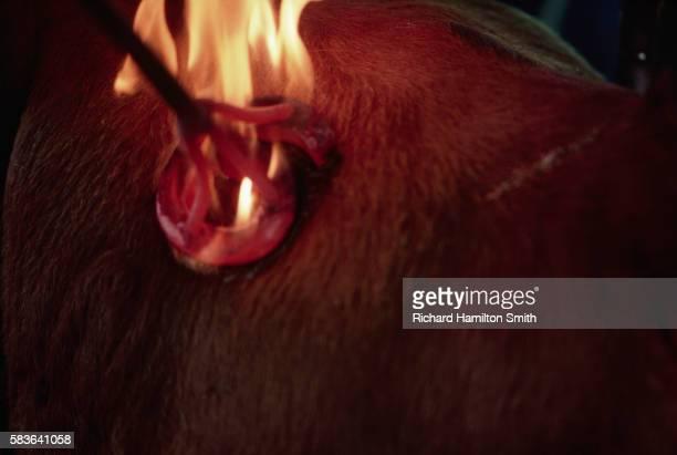 Flames Rising From Steer Branding