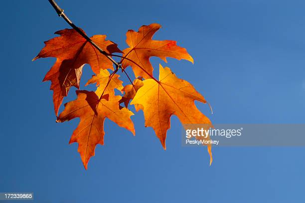 Flaming Maple Leaf Changing Fall Colors Branch Blue Sky