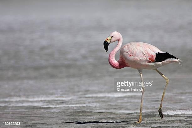 Flamingo (Phoenicoparrus), Altiplano, Bolivia, South America