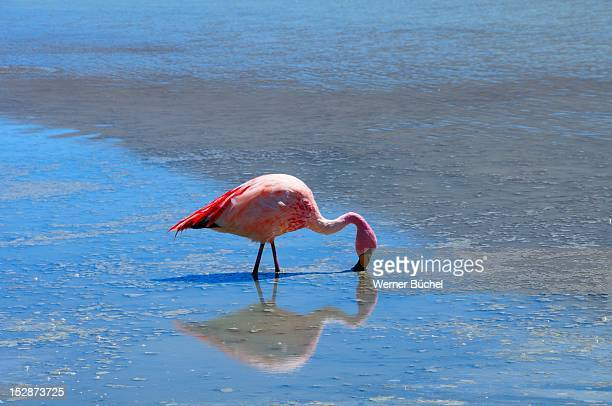 Flamingo at lake