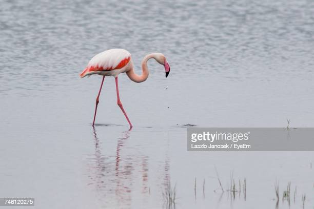 Flamingo Bird In The Wild