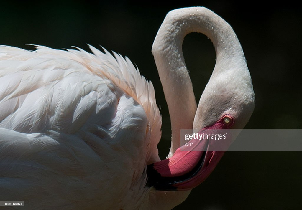 A flamingo cleans its feathers at a lake in Putrajaya, outside Kuala Lumpur on October 6, 2013.