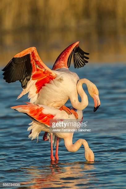 Flamingo, copulation, La Camargue, France