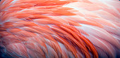 Close up of pink Caribbean Flamingo Feather background