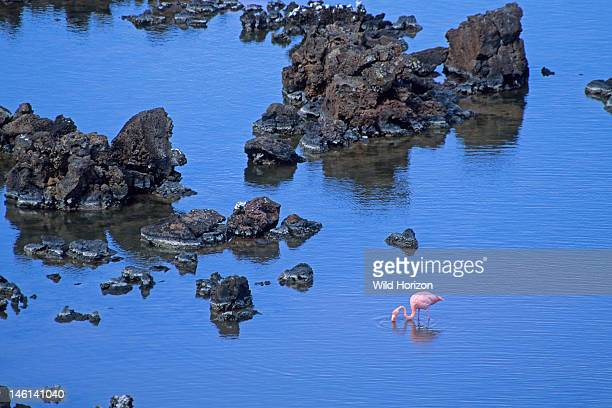 Flamingo feeding in a shallow lagoon among islands of lava Phoenicopterus ruber Isla Floreana Galapagos Islands Ecuador