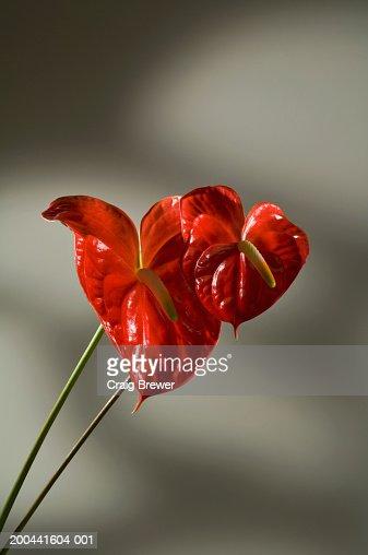 Flamingo flowers (Anthurium andreanum) : Stock Photo