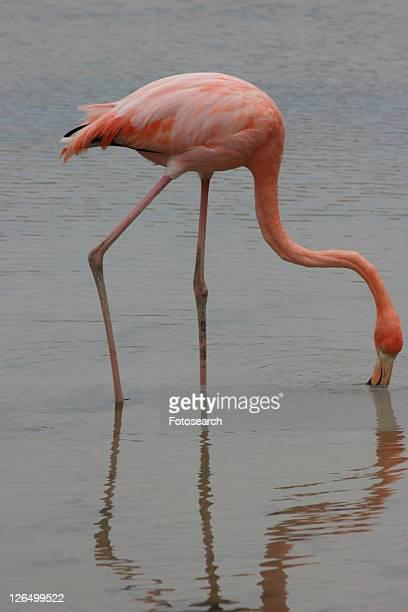 Flamingo. Galapagos.