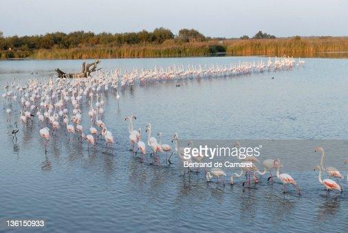 Flamingo in river