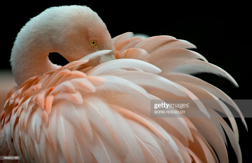 A flamingo is pictured on January 22, 2014 at the zoo in Frankfurt am Main, western Germany. AFP PHOTO / DPA / BORIS ROESSLER / GERMANY OUT