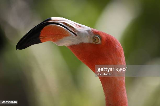 A flamingo is seen at Jungle Island as Florida Governor Rick Scott announces that the number of tourists visiting the state for the first three...