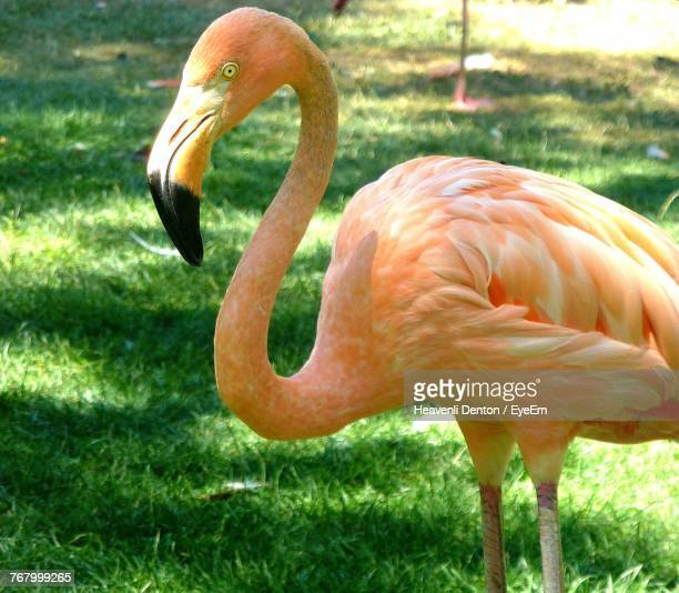 Flamingo On Grassy Field