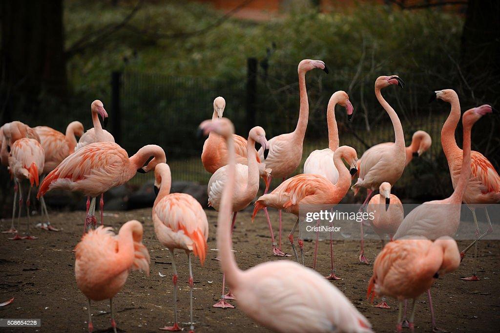 Flamingo : Stock Photo