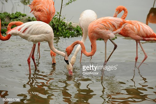 Flamingo : Stock Photo