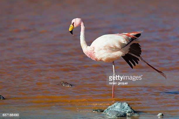Flamingo #4