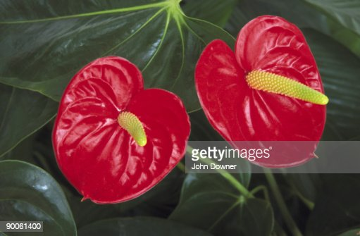 HOA GIEO TỨ TUYỆT - Page 12 Flamingo-plant-anthurium-andreanum-house-plant-s-america-picture-id90061400?s=170667a