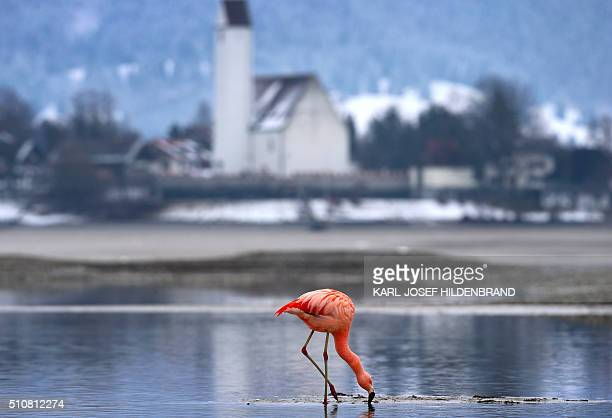 A flamingo stands in the partly emptied Forggensee lake near Fuessen southern Germany on February 17 2016 / AFP / dpa / KarlJosef Hildenbrand /...