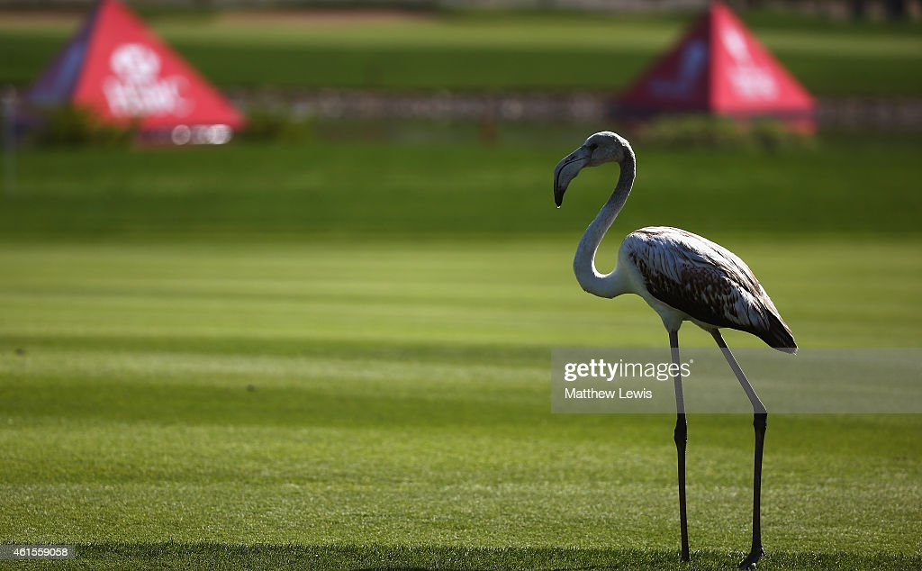 A flamingo walks across a fairway during the first round of the Abu Dhabi HSBC Golf Championship at Abu Dhabi Golf Club on January 15, 2015 in Abu Dhabi, United Arab Emirates.