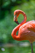Flamingo with curved neck