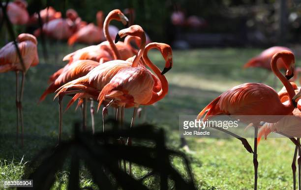 Flamingoes are seen at Jungle Island as Florida Governor Rick Scott announces that the number of tourists visiting the state for the first three...