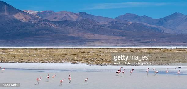 Flamingoes in Salar de Surire, Chile
