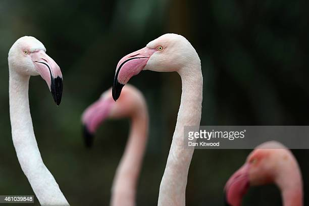 Flamingoes stand in their enclosure during the ZSL London Zoo's annual stocktake of animals on January 5 2015 in London England The zoo's annual...