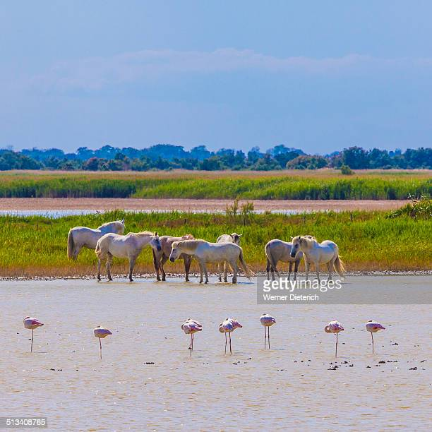 Flamingos and Camargue horses in lagoon, Camargue