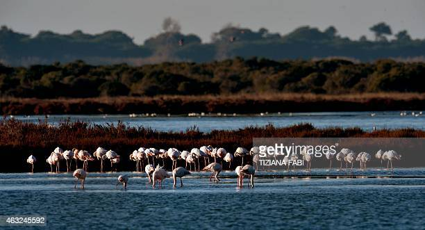 Flamingos are pictured in the Lagoon of Orbetello near the Province of Grosseto Tuscany on February 11 2015 AFP PHOTO / TIZIANA FABI