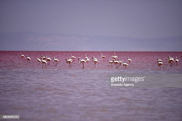Flamingos are seen at the 'Salt Lake' in Aksaray Turkey on July 16 2015 Dunaliella salinas a type of halophile microalgae especially found in...