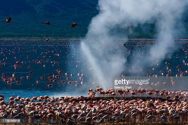 Flamingos around hot water springs at Lake Bogoria