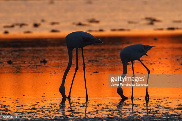 Flamingos at sunset. La Carmargue