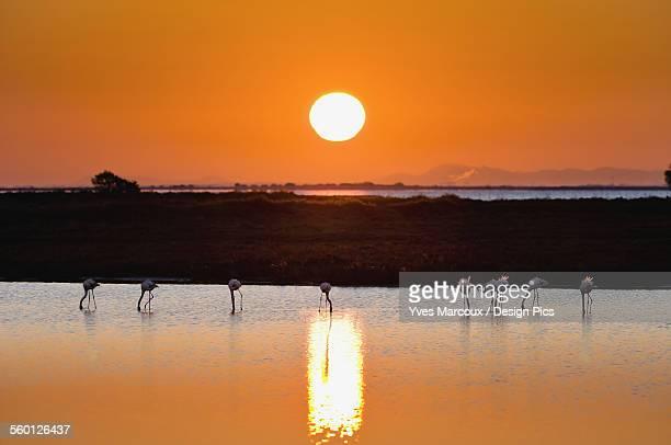 Flamingos at sunset, Regional Nature Park of the Camargue