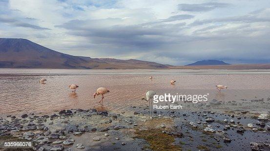 Flamingos at the lagoon : Stock Photo