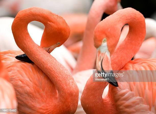 Flamingos (Phoenicopteriformes), close-up