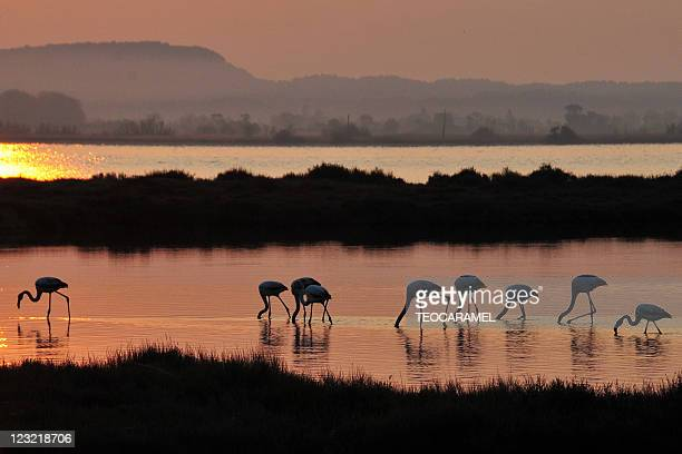 Flamingos in sunrise.