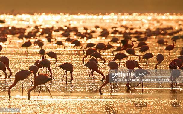 Flamingos in the sunrise, lake nakuru, kenya
