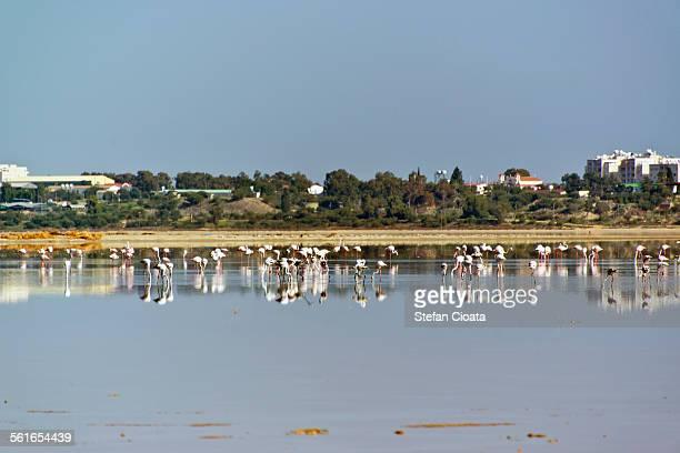 Flamingos near Larnaca