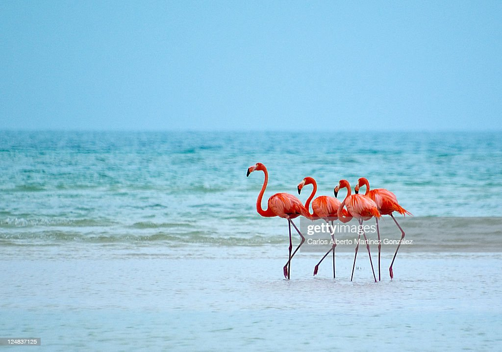 flamingos stock photo getty images