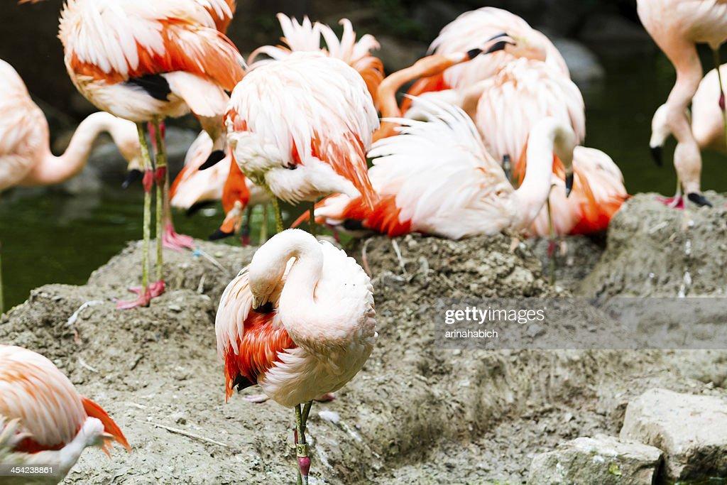 Flamingos : Stock Photo