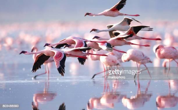 Flamingo 's