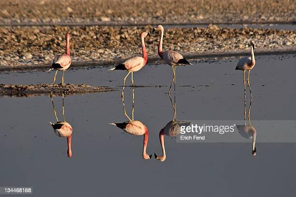 Flamingos (Phoenicopteridae), San Pedro de Atacama, Atacama Desert, Chile, South America