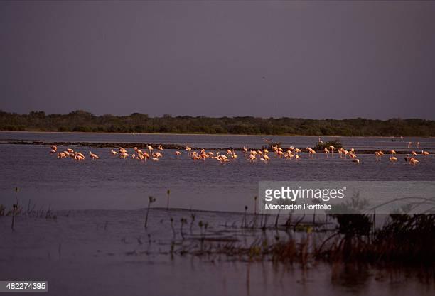 Flamingos spending the winter in the sea of Cayo Coco Isle Cuba 1990s