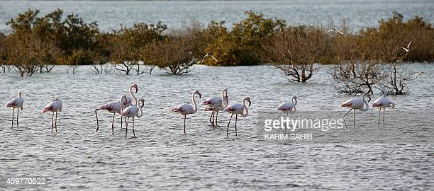 Flamingos stand in a water reservoir on Sir Bani Yas Island one of the largest natural islands in the United Arab Emirates on November 27 2014 The...