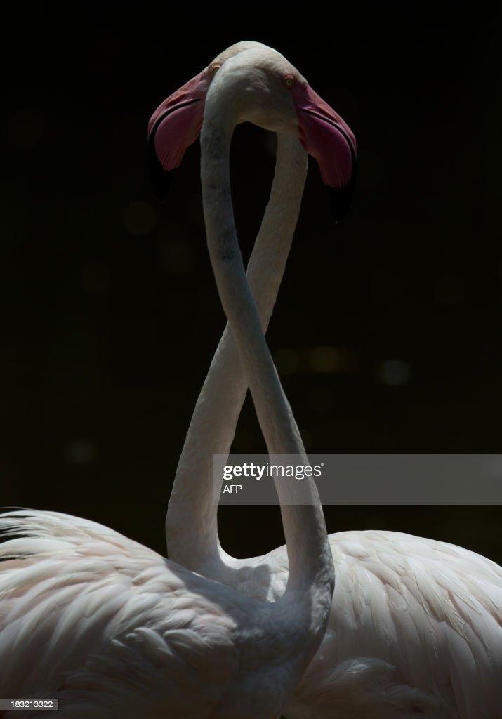 Flamingos swim at a lake in Putrajaya, outside Kuala Lumpur on October 6, 2013.