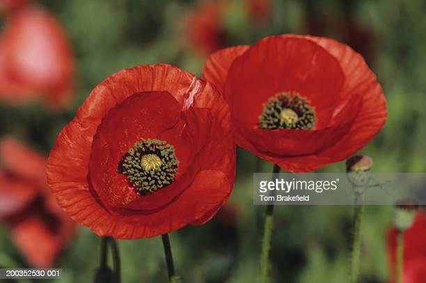 Flanders or red corn poppies (Papaver rhoeas), close-up, wildflowers