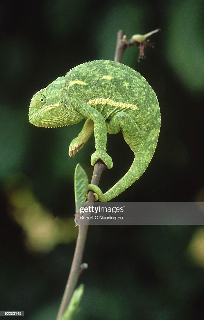 flap-necked chameleon: chamaeleo dilepis  transvaal : Stock Photo