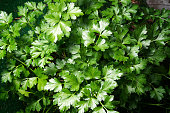 Looking down on the vibrant green leaves of the flat italian parsley plant growing in the garden.
